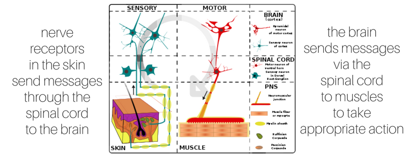 nerve receptors brain action