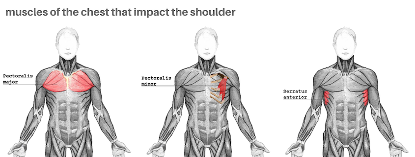 shoulder chest muscles