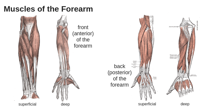 tennis elbow anatomy forearm muscles