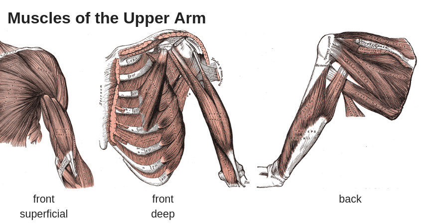 tennis elbow anatomy upper arm muscles